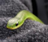Smooth Green snake  - 4
