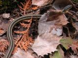 Thamnophis sirtalis sirtalis