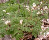 Dutchman's Breeches - 1