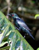 Asian-Glossy-Starling.jpg