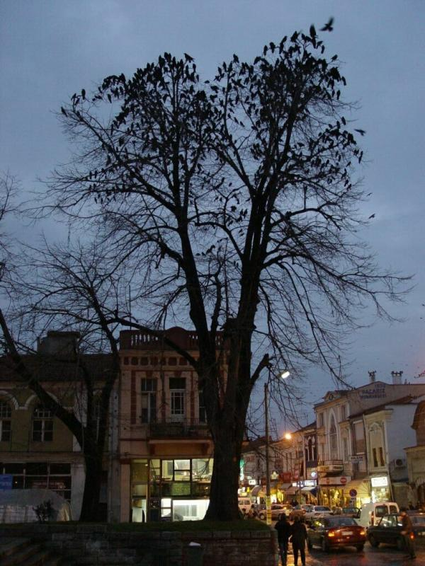 Edirne crows flocking