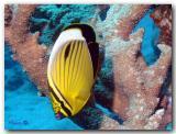Polyp butterflyfish