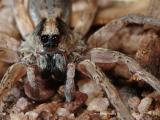 Kakadu Wolf Spider