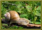 Les gastéropodes     Snail