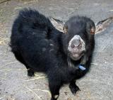 Goat ver 2