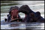 Hippo's up close sparring