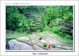 Rice Paddies Terrace - Tegalalang