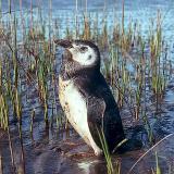 Magellanic Penguin, imm.