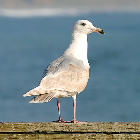Glaucous-winged Gull, bleached 2nd cycle