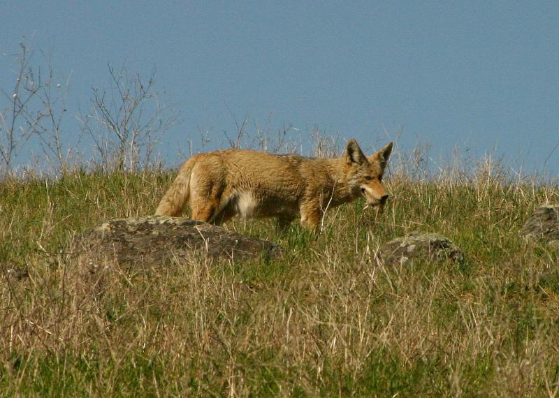 102   Coyote with lunch in mouth_7147`0403191405.JPG
