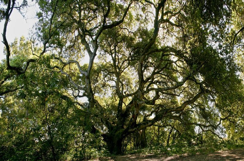 156   Oak tree at central junction_8439,42,5,8,51,4`04041010.jpg