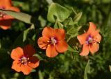 101   Scarlet Pimpernel (very close up)_7137`0403191218.JPG