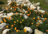 107   Poppies next to Chapparal pkg lot_7660`0403241318.JPG