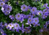 115   bunch of Blue Witch flowers_7940`0403291447.JPG