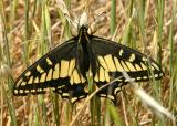 119   Swallowtail butterfly_8065`0404051224.JPG