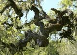 120   Twisted oak branches_8124`0404051333.JPG