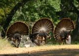 134   3 fanning turkeys from behind_8914`0404121323.JPG