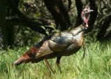 135   Tom turkey_8935`0404121333.JPG