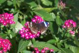 Butterfly on Pink Flower Stright.jpg