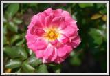 Pink Rose - CRW_1549 copy.jpg