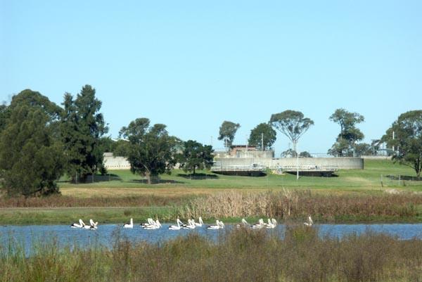 Effluent pelicans