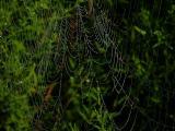 Unknown Spider Web with Dew
