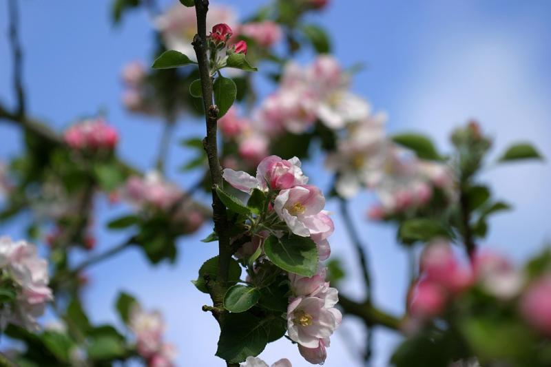 bramleys blossom
