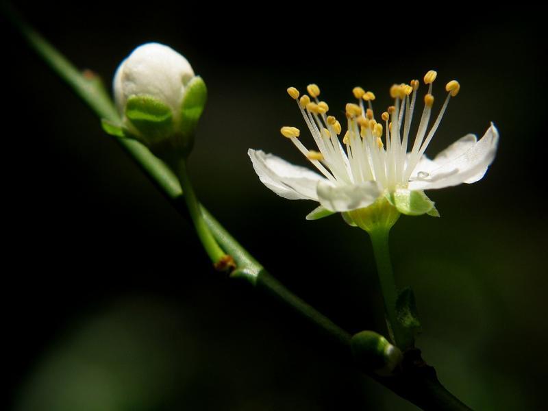 more damson blossom