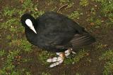 A Coot...with funny feet