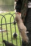 tame squirrel