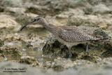 Whimbrel   Scientific name - Numenius phaeopus   Habitat - Along the coast in grassy marshes, mud and on exposed coral flats, beaches and sometimes in ricefields.