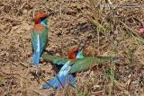 Blue-throated Bee-eater   Scientific name - Merops viridis   Habitat - Cleared fields adjacent to forest, open country and grasslands.   [400 5.6L, hand held]