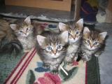 B kittens at 4 weeks