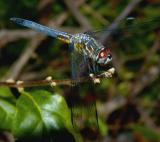 Blue Dasher - male