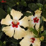hibiscus.jpg (544)