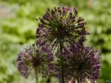 ummm A purple flower.jpg (Agapanthus)(512)