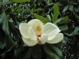 MagnoliaBlossom.jpg