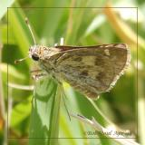 Whirlabout Skipper Female