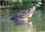 Gator Courtship Bellow