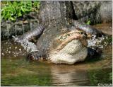 Gator Courtship Bellow II