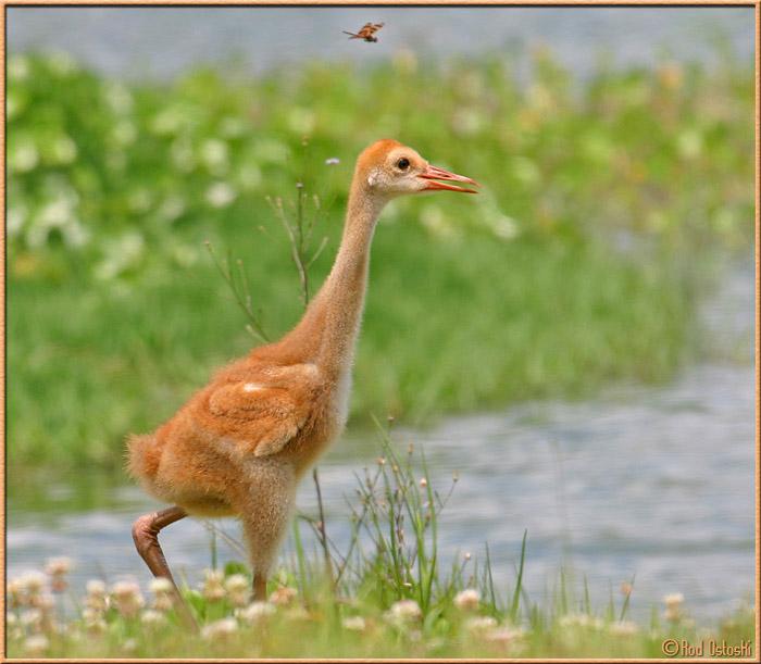 Sandhill Chick