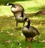canadageese
