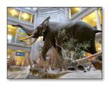African ElephantSmithsonian Natural History Museum,Washington, D.C.