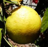 Meyer Lemon (Citrus x Meyeri)