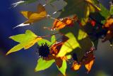 Autumn - liquidambar leaves