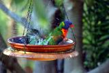 Birdbath with rainbow lorikeets
