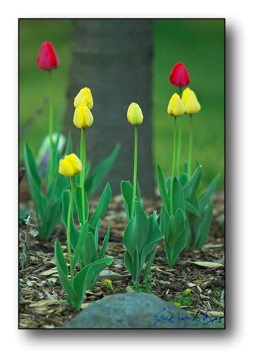 Rockford Tulips : Week 4