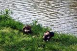 Ducks along the canal