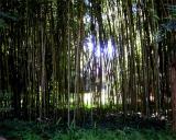 Hume bamboo