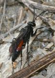 Anoplius semirufus